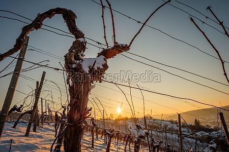 old gnarled vine in a vineyard