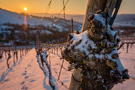 old gnarled vine with snow in