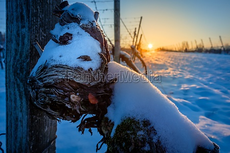 close up old gnarled vine with