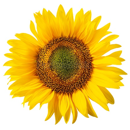 sunflower helianthus annuus inflorescence isolated