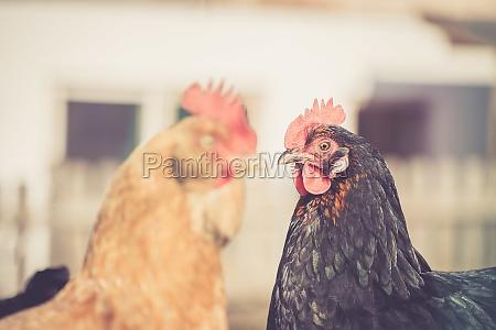 chicken in the own garden close