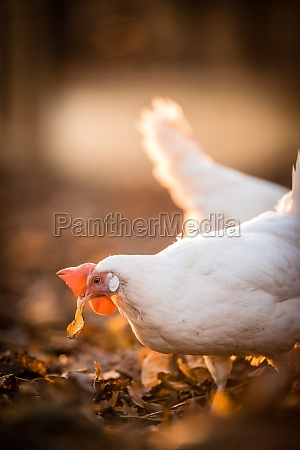 hens in a farmyard gallus gallus