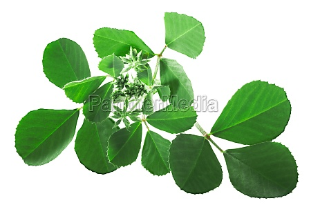 fenugreek leaves with inflorescences trigonella corniculata
