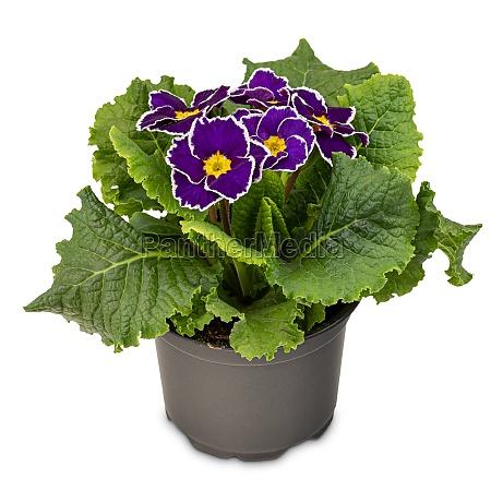 purple violet primrose