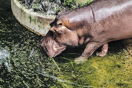 hippopotamus amphibius drinking water in pond