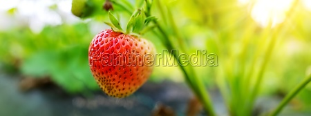 juicy fresh strawberry growing in the