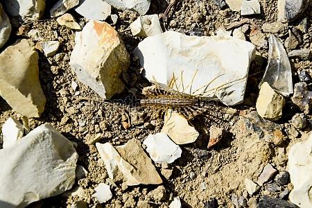 scutigera coleoptera runs on the ground