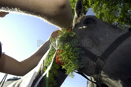 lippizan horse getting floral decoration