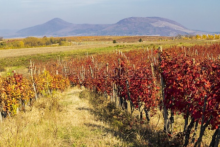 autumn vineyard near eger northern hungary