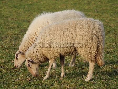 sheeps on a pasture in germany
