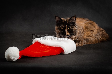 new year maine coon cat looking