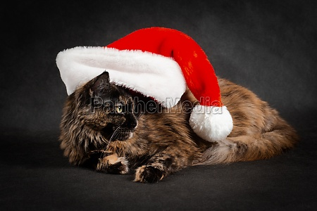 new year maine coon cat wearing