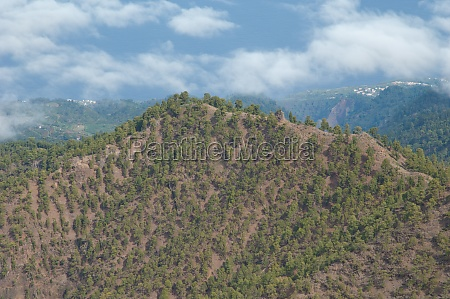 forest of canary island pine on