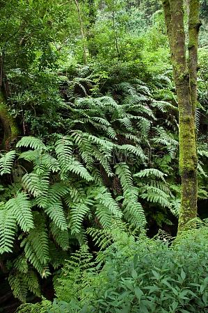 chain ferns woodwardia radicans