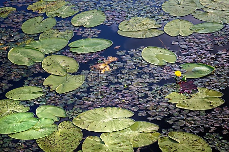 blooming water lilies on the surface