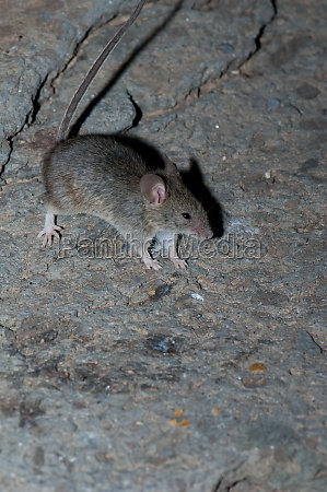 house mouse mus musculus on a