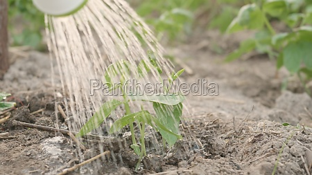 growing to learn sprouts watered from