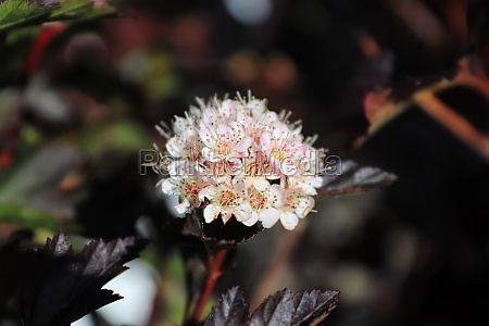 a cluster of ninebark flowers in