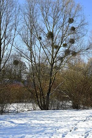 mistletoe with ripe berries in wintertime