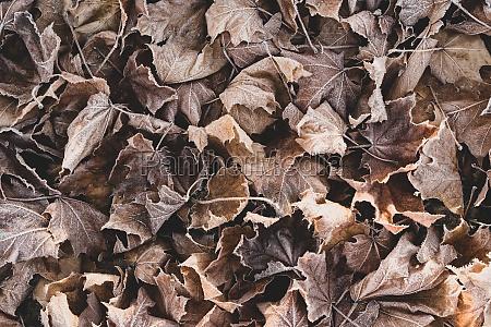 frozen fallen leaves