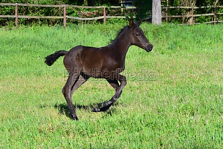 a cute young black warmblood filly