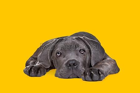 cane corso puppy dog