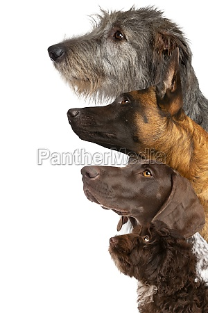 portrait of four dogs looking up