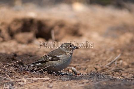 female common chaffinch fringilla coelebs canariensis