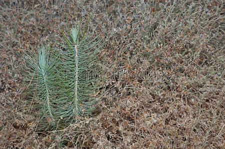 buds of canary island pines pinus