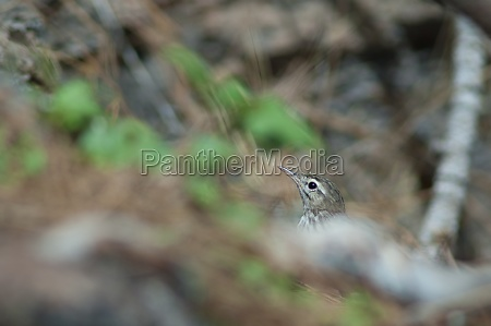 berthelots pipit anthus berthelotii showing only