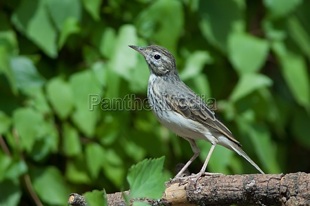 berthelots pipit anthus berthelotii on a