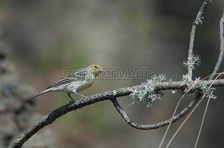 atlantic canary serinus canaria on a