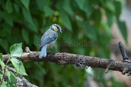 juvenile african blue tit cyanistes teneriffae