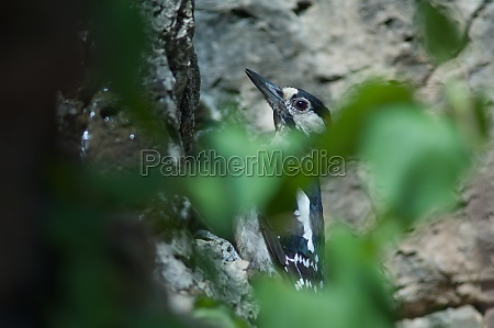 great spotted woodpecker dendrocopos major thanneri