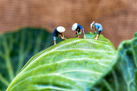 group of asian farmers harvesting cabbage
