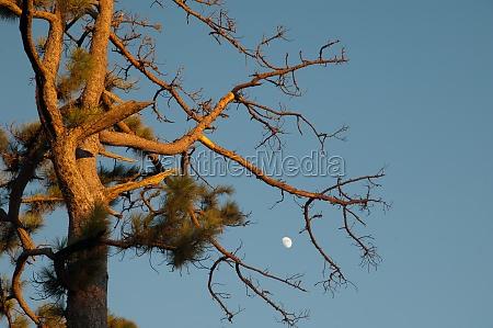 canary island pine pinus canariensis and