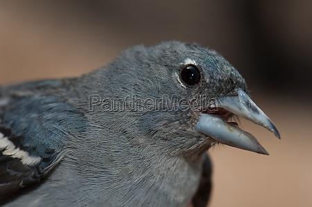 male gran canaria blue chaffinch fringilla