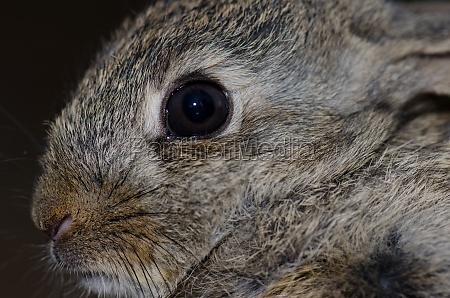 european rabbit oryctolagus cuniculus integral natural