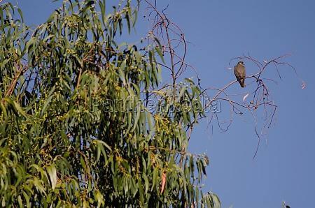eleonoras falcon perched on a eucalyptus