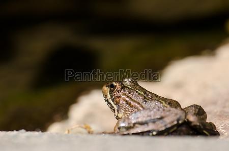 perezs frog pelophylax perezi the nublo