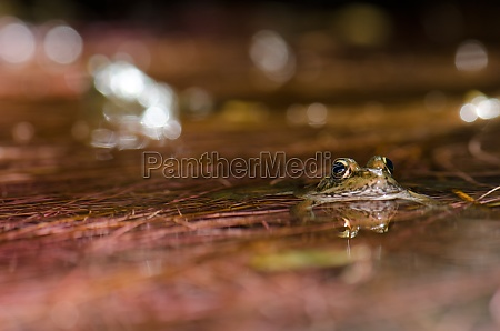 perezs frog pelophylax perezi in a
