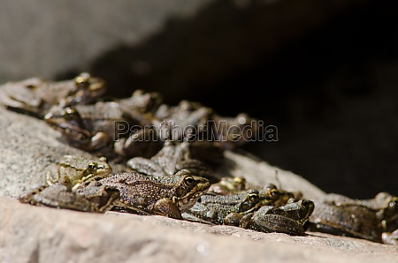 perezs frogs pelophylax perezi the nublo