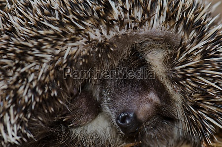 north african hedgehog atelerix algirus in