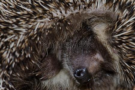 north african hedgehog atelerix algirus in