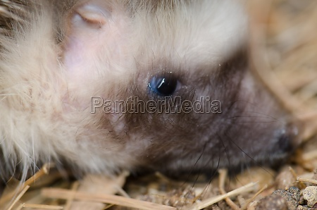 head of north african hedgehog atelerix