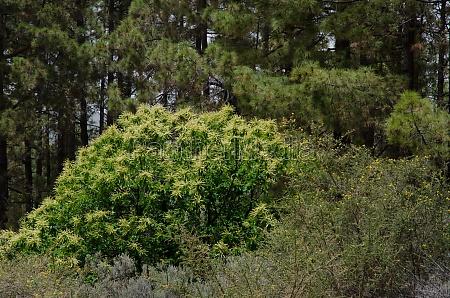 chestnut castanea sativa shrub adenocarpus foliolosus