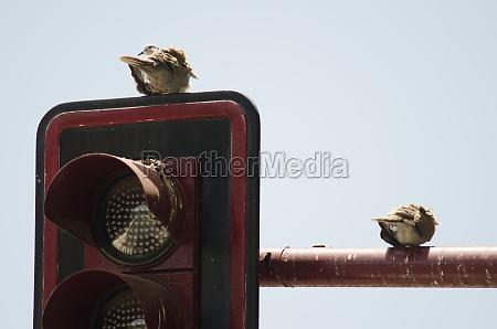 eurasian collared doves streptopelia decaocto resting