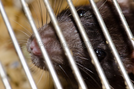 laboratory rat rattus norvegicus in a