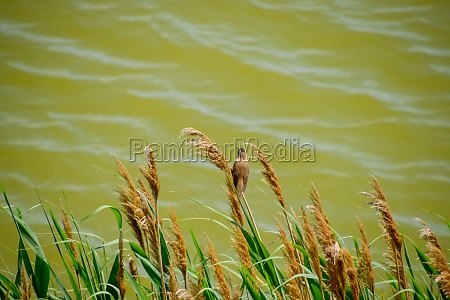 acrocephalus sits on reed stalks by