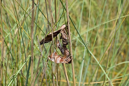 mating of two butterflies of sphingidae